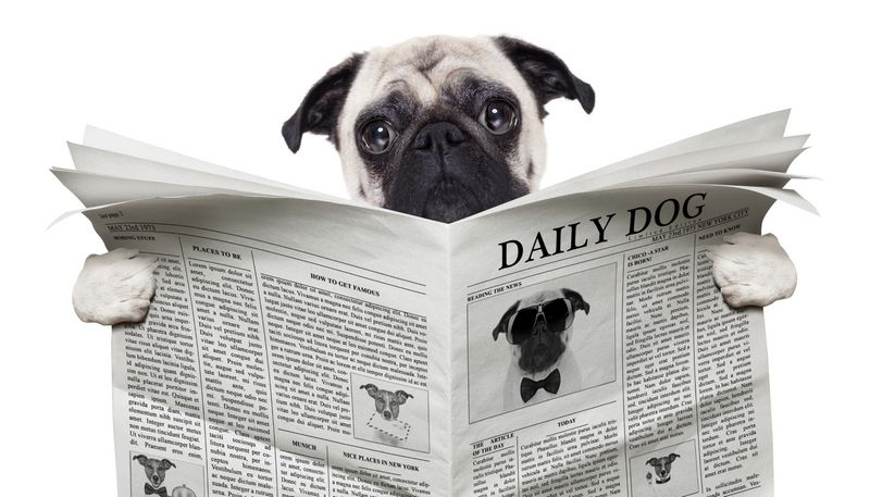 Pug reading newspaper